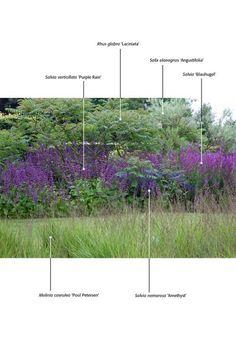 SALVIA veticvillata Purple Rain +``Blauhugel in front of Sumacs - Rhus glabra 'Laciniata'