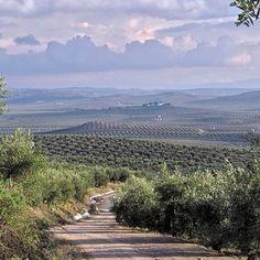Caminos del olivar. Olive roads