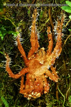 Tarantula, Theraphosinae, killed by an entomopathogenic species of fungi, but still clinging to a tree long after death.  Mindo, west slope of Andes. Equador...