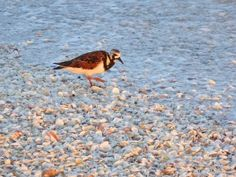 Sanibel bird Ruddy Turnstone among seashells