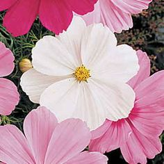 Cosmos – Annual -  Tall flowering plant, with large daisy like blooms that go all summer. Great for cutting, don't like to be transplanted so better direct sown. Full sun to partial shade. These look best used in broad swaths of color. They reseed readily. Purples, pinks and whites.  Not very drought resistant, but not water greedy either. Do well in poor soil. Basically, you could toss out a handful of these, water in and wait! That easy!