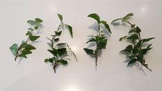 How To Propagate Ivy In Water - Step By Step Guide - Smart Garden Guide English Ivy Indoor, Ivy Plant Indoor, Peacock Plant, Flamingo Flower, Smart Garden, Ivy Plants, Garden Guide, Snake Plant, Potting Soil