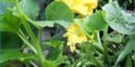 When Is a Squash Ripe? | eHow