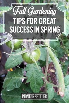 Check out Fall Gardening Tips For Great Success in Spring at http://pioneersettler.com/fall-gardening-tips-great-success-spring/