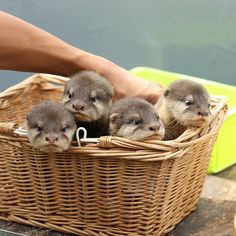 a basket full of pretty baby otters