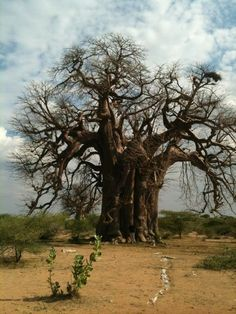 Good News: Massive Boabab tree Giant Tree, Big Tree, Baobab Tree, Plant Fungus, Unique Trees, Old Trees, Out Of Africa, Tree Forest, Nature Pictures