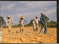 Einsatz auf dem Feld:  Landarbeiter beackern im Juni 1941 ein Baumwollfeld in...