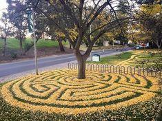 Joanna Hedrick golden labyrinths from fallen leaves of ginkgo trees   #art #california #campus #environment #garden #gardening #ginkgo #horticulture #joannahedrick #labyrinth #nature #sacramento #sacramentouniversity #tree #university