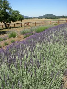 New Oak Ranch and its lavender fields in Ojai, California