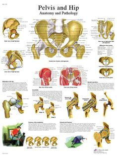 Anatomical chart: hip & pelvis, laminated