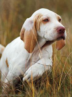 Ariège pointer dog, ~ © Craig Koshyk Photography*