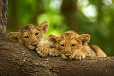 So cute! - Two asiatic lion cubs lying on tree trunk in Gir National Park.   This image is from Secrets of Wi... [Photo of the day - April, 2012]