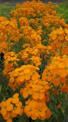 "Erysimum capitatum (wallflower)  ""Fidelity in adversity"" in the Language of flowers"