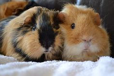 two adorable guinea pigs