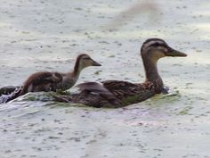 I was taking a photo of the mother duck then heard and saw her baby catch up to…