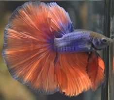 Show Quality Betta Fish   Details about live betta fish-Amazing Super Show Quality purple & red ...