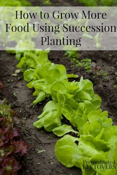 How to Use Succession Planting to Grow More Food - An introduction to using succession planting and succession planting schedules for various vegetables.