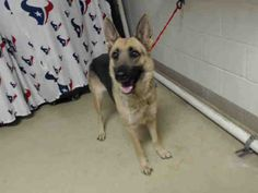 01/09/17-HOUSTON FACILITY AT CAPACITY ALL ANIMALS SUPER URGENT!! -MYA - ID#A475292  My name is MYA  I am a female, brown and black German Shepherd Dog.  The shelter staff think I am about 2 years and 6 months old.  I have been at the shelter since Jan 09, 2017.  This information was refreshed 25 minutes ago and may not represent all of the animals at the Harris County Public Health and Environmental Services.