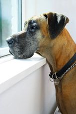 Great Dane Rescue of Northern California (looks just like Scooby) Great Dane Breed, Great Dane Rescue, Great Dane Puppy, Dog Separation Anxiety, Dog Anxiety, Wild Dogs, Gentle Giant, Animals Of The World, Great Danes