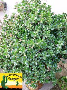 1000 id es sur le th me crassula ovata sur pinterest plantes grasses plantes jade et plantes - Plantes d int u00e9rieur faciles d entretien ...