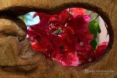Esta planta recibe un amplio uso medicinal tradicional en los estados del centro y sur del territorio mexicano, principalmente en casos de infecciones respiratorias como tos, asma, bronquitis y gripa. Para su tratamiento son empleadas las flores o brácteas, así como su preparación el cual se administra en forma oral. Para preparar el té, necesitas los siguientes ingredientes: • Flores de Bougainvillea bien lavadas (6 u 8) • Agua hirviendo • Miel de abeja • Chrysanthemum, Shape, Honey Bees, Single Wide, Cases, Honey, Traditional, Chrysanthemum Morifolium