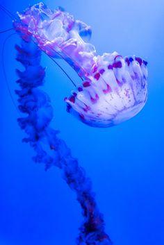 Porcvpine — drxgonfly: Jelly Fish (by David Benard)