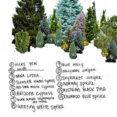 How to Design Your Own Evergreen Privacy Screen Privacy Plants, Privacy Landscaping, Landscaping Plants, Front Yard Landscaping, Planting For Privacy, Evergreen Trees Landscaping, Evergreen Trees For Privacy, Arborvitae Landscaping, Evergreen Landscape