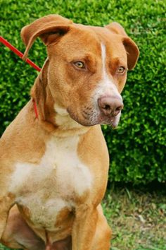 Furbabies of Lancaster Texas Tommy. #8208 Beautiful, friendly guy.  -This dog is found in the city of Lancaster, Texas  PM Furbabies of Lancaster Texas    If you are a rescue please fax your 503c to 972-227-7220. Fees will be waived. https://www.facebook.com/492038410865190/photos/a.618989548170075.1073741876.492038410865190/615937675141929/?type=1comment_id=622863344449362ref=notifnotif_t=comment_mention