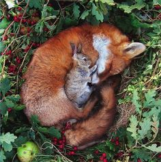 A sleeping fox curled up in a ball with a small rabbit cuddled up on top of it.