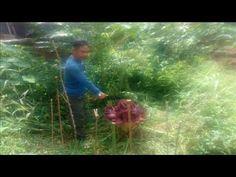 Bunga RaflesiaTumbuh Diperkarangan,Gegerkan Warga Purwakarta