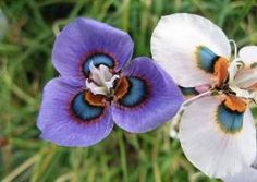 This large genus is composed of about 120 members, many of which are brilliantly colored with the form of a small iris, with three inner and three outer petals. Color ranges from white to  yellow, orange, pink, purple and violet, and many species are scented.  All of the Moraeas (Peacock Flower) listed (below) are winter-growing. SHIPS AUG-OCT. Moraea villosa comes in many different colors...