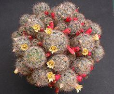 Mammillaria prolifera v. texana