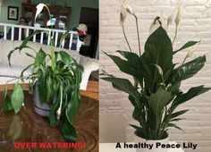 One of the most beautiful house plants in the plant world is the Peace Lily. This article is a guide on how to care for them.