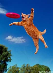 Cat Catching a Frisbee in Mid Air - Photo of a Frisbee Playing Cat ...