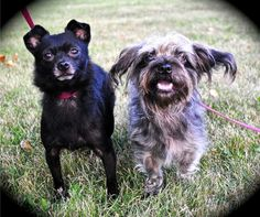 Carmel, IN. Maddie and Cookie ~These little ones are so sweet. They were dropped off at a local shelter together when their family didn't want them anymore. Maddie is 3 and Cookie is 2, and they love each other. We would like them to go together if possible
