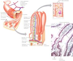 Le tube digestif - Le blog de jerome harlé