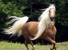 Image result for Tennessee Mountain Horse