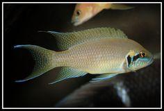 Tropical Aquarium, Tropical Fish, Aquarium Fish, Lake Tanganyika, Fish Breeding, African Cichlids, Aquascaping, Fish Tank, Fresh Water