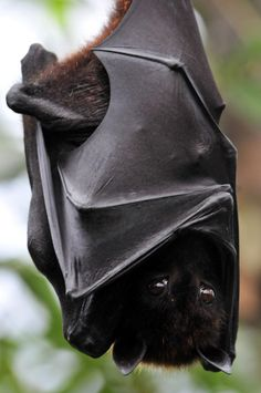 "funkysafari: ""Flying Fox by Michael.Doering "" Upside down Bat with wrapped up in its wings...."