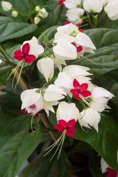 Clerodendron thomsoniae, common name of Bleeding Heart Vine or Glory Bower, in red and white flowers, native to tropical west Africa from Cameroon west to Senegal
