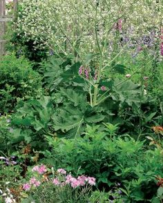 Big-leaved Perennials | Fine Gardening  Crambe Cordifolia