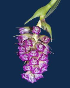 Elleanthus amethystinoides