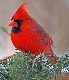 Male Northern Cardinal by cheryl smith, via 500px~cl