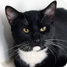Walnut Creek, CA - Domestic Shorthair. Meet Tupelo a Cat for Adoption. Please click on pic for additional info on this furry baby