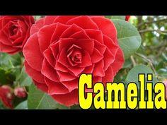 Mondini Plantas: Como Cultivar Camelia - YouTube