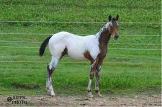 Somelook Royaly Able, Appaloosa Colt in Wisconsin | Appaloosa Horses for Sale