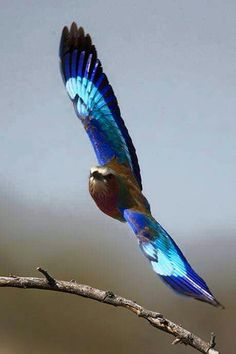 Wild breasted roller