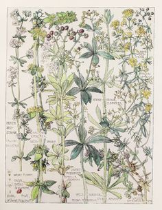 1910 Botanical Print by H. Isabel Adams: Bedstraw by PaperPopinjay