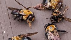 "EPA Approves ""Emergency"" Use of Banned Bee-Killing Insecticide On 14 Million Acres Dead Bees, Bee Safe, How To Kill Bees, Plant Bugs, Mind Blowing Facts, Cotton Textile, Sustainable Food, Environmental Health, Bee Keeping"