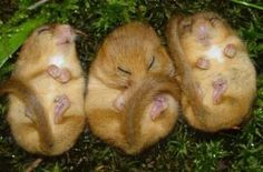 little snoozing (they even snore!) little dormices, 1, 2, 3 in a row...